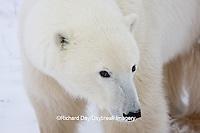 01874-11516 Polar Bear (Ursus maritimus) close up Churchill Wildlife Management Area,  MB