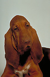 bloodhound head study on white seamless<br />