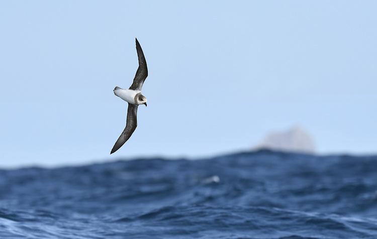Soft-plumaged Petrel - Pterodroma mollis