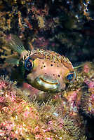a Long-Spine Porcupinefish at Monkey Island reef, Playa del Coco, Guanacaste, Westcoast Costa Rica, Pacific Ocean, Diodon holocanthus