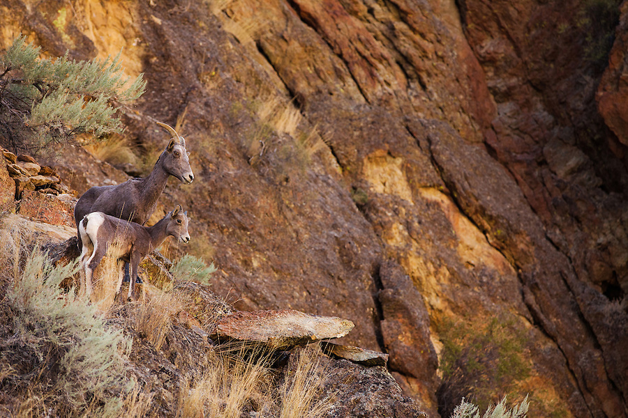 A female bighorn sheep and her lamb look down from their rocky perch in Leslie Gulch, Southeast Oregon.