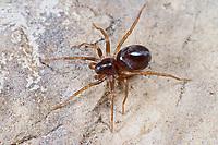 Ameisenjäger, Zodarion germanicum, Lucia germanica, ant-eating spider, Zodariidae, Ameisenjäger