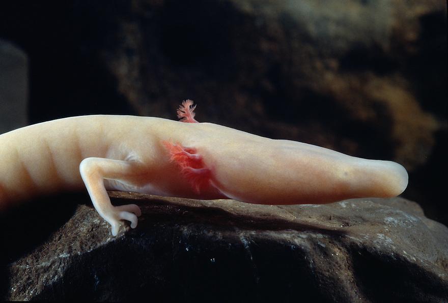 "Italy ""Proteus anguinus"" (engl. Human fish) in Oliero cave in northern Italy (Valle del Brenta, commune di Valstagna) ."
