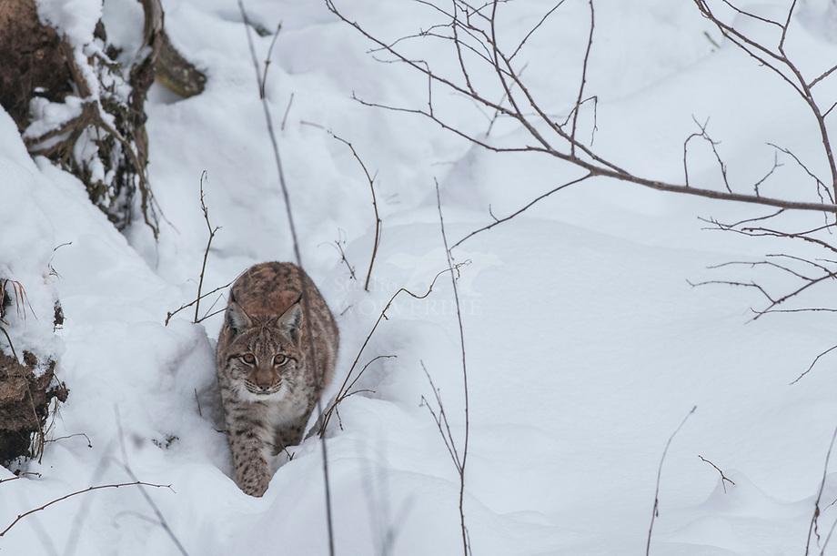 Lynx (Lynx lynx) jaarling in de sneeuw