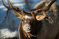 A bull elk forages near Lava Creek on a cold winter day in Yellowstone National Park.