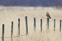 Short-eared Owl watches from a fence post