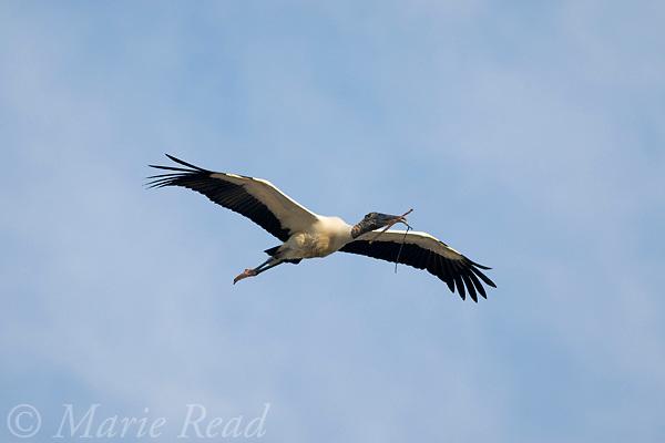 Wood Stork (Mycteria americana) in flight carrying nest material in its bill, Orlando, Florida, USA