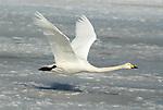 Whooper swan, Cygnus cygnus, adult in flight, flying, Odaito, Hokkaido Island, Japan, japanese, Asian, wilderness, wild, untamed, ornithology, snow, graceful, majestic, aquatic.Japan....