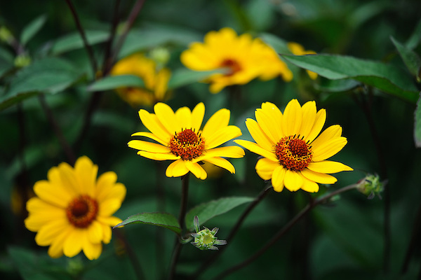Heliopsis helianthoides var. scabra 'Summer Nights'