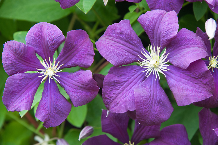 Clematis viticella 'Etoile Violette', early July. Late, small-flowered clematis with single, purple flowers. Raised in France in 1885, it is a member of the Viticella Group.