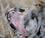Santo, a six-month old jaguar, yawns in his enclosure at the Animal Ark in Reno, Nev., on Friday, March 30, 2012. The wildlife sanctuary opens for its 31st season on Saturday..Photo by Cathleen Allison