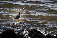 A lone Willet stands on a mostly submerged rock while the gentle surf stirs bubbles that glisten like gems on the waters at the San Leandro Marina Park.