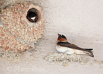 Cliff Swallow (Petrochelidon pyrrhonota), two at their nest constructed of mud pellets attached to a building wall, Mono Lake Basin, California, USA