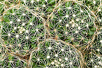 Circles of needles on a cactus