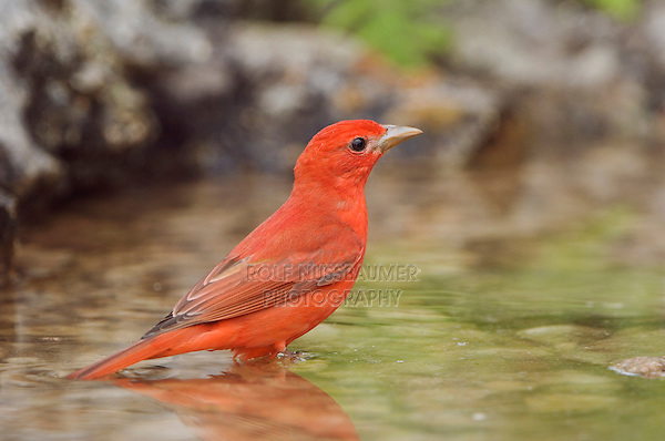 Summer Tanager, Piranga rubra, male bathing, Uvalde County, Hill Country, Texas, USA