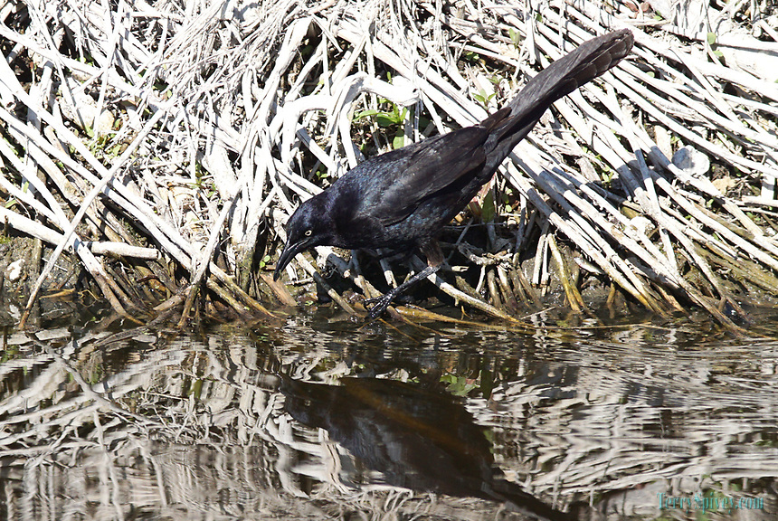 Common Crackle Great-Tailed Grackle