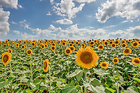 Texas Sunflowers - This year was a great time to see endless colorful giant sunflowers fileds all over the pplace with nice Texas skys. The road to Dallas was full of field of sunflower it was almost magical. These wonderful giant yellow Texas sunflowers are used for crop rotation, but they also help the bees and birds so it is a win win.