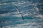 A wandering albatross flies over the waves of the South Scotia Sea in the South Atlantic Ocean.