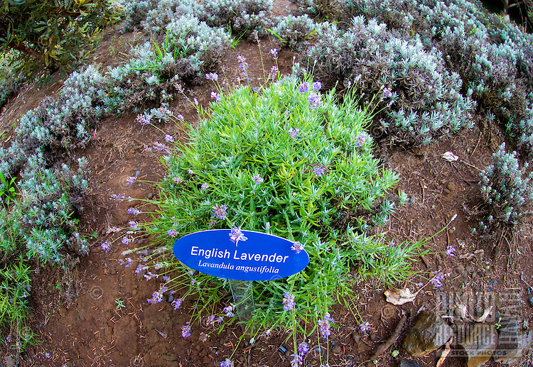 English Lavender featured at the Alii Kula Lavender farm at the base of Haleakala, Kula