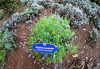 English Lavender featured at the Alii Kula Lavender farm at the base of Haleakala, Kula