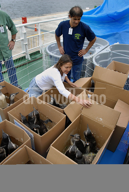 """Giselda Candiotti, director of Niteroi Zoo, checks magellanic penguins (Spheniscus magellanicus) rescued off the coast of Rio de Janeiro before to be transported by the Brazilian Oceanographic Navy """"Ary Rongel"""" and freed in southern Brazil, Rio de Janeiro, Brazil, October 6, 2008. The magellanic penguins migrate annually to the Argentinian and Uruguayan coast during their migration from Patagonia in July, and large numbers end up on Rio de Janeiro's beaches every year, swept by strong ocean currents from the Strait of Magellan. This year is seeing higher numbers and more dead penguins than usual; more of 150 penguins have been treated by veterinarians at the Zoo this year and over 400 baby penguins have been found dead on the state's shores over the past two months. Penguins will transported by boat and freed in southern Brazil in September when the southern hemisphere Spring arrives. The species is classified as """"Near Threatened,"""" primarily due to the vulnerability of large breeding colonies to oil spills, which kill 20,000 adults and 22,000 juveniles every year off the coast of Argentina. The decline of fish populations is also responsible, as well as predators such as sea lions and giant petrels, which prey on both the chicks and the adults. (Austral Foto/Renzo Gostoli)Magellanic penguins (Spheniscus magellanicus) rescued off the coast of Rio de Janeiro wait at the Niteroi Zoo to be transported by the Brazilian Oceanographic Navy """"Ary Rongel"""" and freed in southern Brazil, Rio de Janeiro, Brazil, October 6, 2008. The magellanic penguins migrate annually to the Argentinian and Uruguayan coast during their migration from Patagonia in July, and large numbers end up on Rio de Janeiro's beaches every year, swept by strong ocean currents from the Strait of Magellan. This year is seeing higher numbers and more dead penguins than usual; more of 150 penguins have been treated by veterinarians at the Zoo this year and over 400 baby penguins have been found dead on the state"""