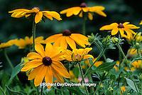 "63821-06203 Black-eyed Susan (Rudbeckia hirta ""Indian Summer"") Marion Co., IL"