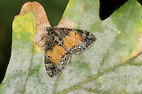 Common Marbled Carpet Chloroclysta truncata Wingspan 25-30mm. A well-marked moth whose wing colours and patterns are extremely variable. Adult has variably marbled wings. Some forms have overall brown and white wings with a broad dark band; others have a broad chestnut band or patch on otherwise dark wings. Dark Marbled Carpet C. citrata is similarly patterned and variable; outer edge of central band is more angular. Larva feeds on a wide range of low-growing plants. Widespread and common.