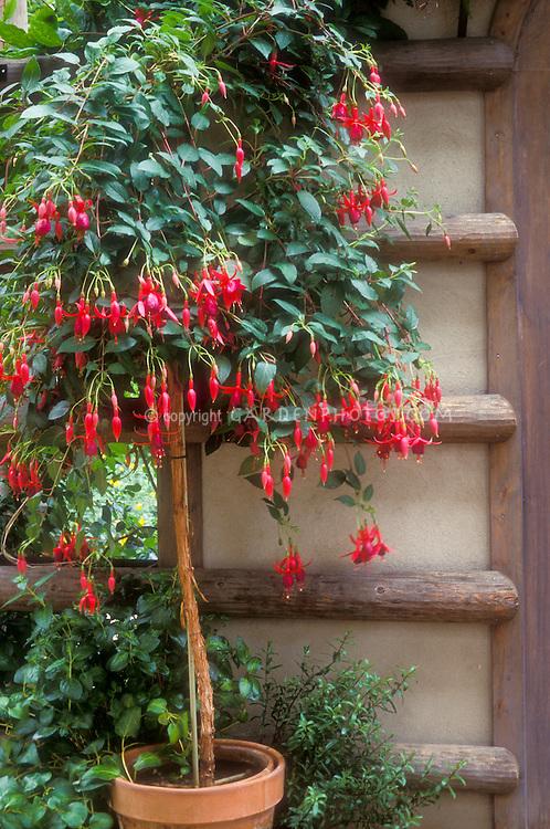 fuchsia container garden plant flower stock photography gardenphotos