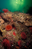 Rose Anemones ( Urcina piscivora) and White-Spotted Rose Anemones ( Urticina lofotensis) decorate a reef in Barkley Sound, British Columbia , Canada