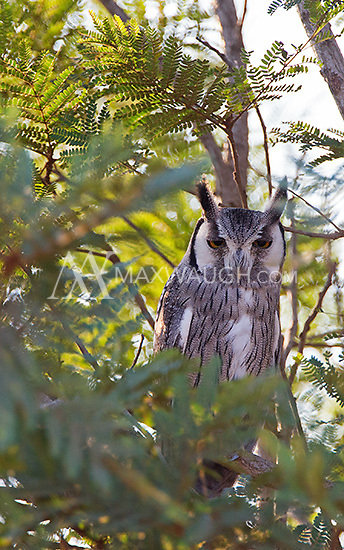 This was my first chance to photograph the white-faced scops owl.  A pair was well-hidden in a tree in Kruger.