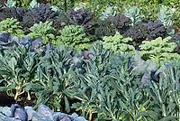 Brassica vegetables growing in garden, including kale, cabbages