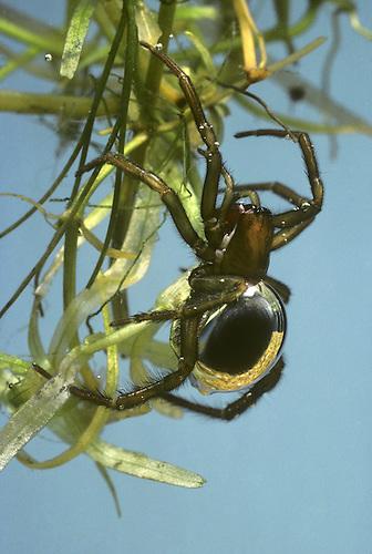 Water Spider - Argyroneta aquatica