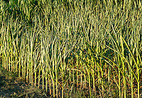 Young corn crop.
