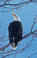 Bald Eagle, Haliaeetus leucocephalus,adult calling, portage glacier, Alaska, USA