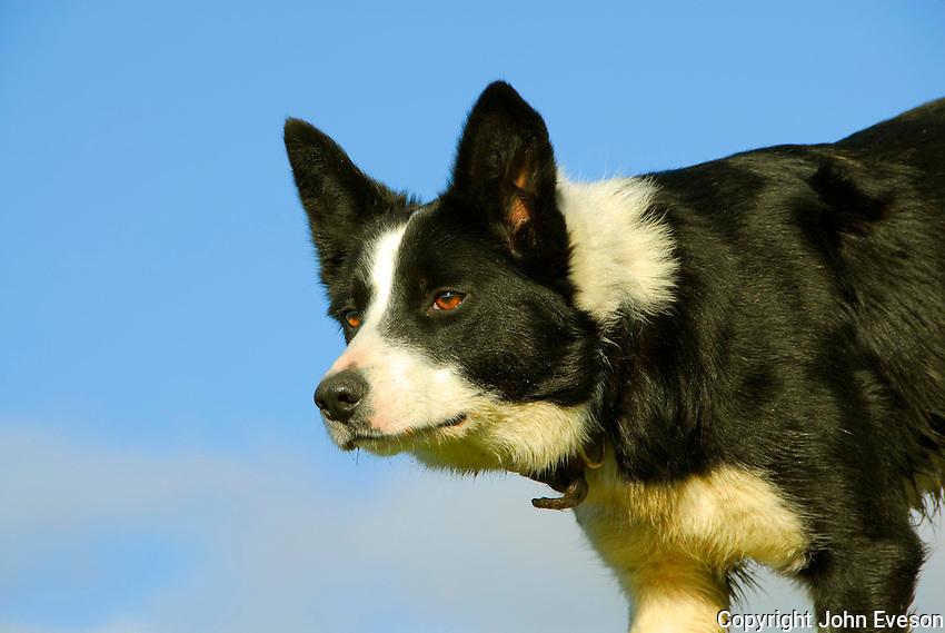 Sheepdog.