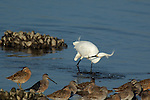 Snowy Egret Hunting Bolsa Chica Wildlife Refuge Southern California
