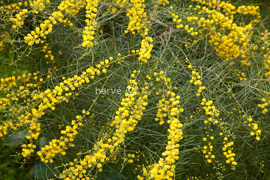 Le domaine du Rayol en f&eacute;vrier : mimosa (Acacia adunca) dans le jardin australien.// Acacia adunca, Wallangara Wattle <br /> <br /> (mention obligatoire du nom du jardin &amp; pas d'usage publicitaire sans autorisation pr&eacute;alable)