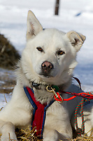 A Kelley Maxiner dog rests at Grayling on Saturday during Iditarod 2011
