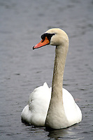 Mute Swan in St James, London, United Kingdom