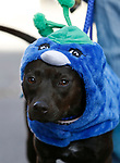Lady, 1, waits for the start of the Scallywaggers Pirate Pup Parade at the Brewery Arts Center, in Carson City, Nev., on Wednesday, Sept. 18, 2019.<br />Photo by Cathleen Allison/Nevada Momentum