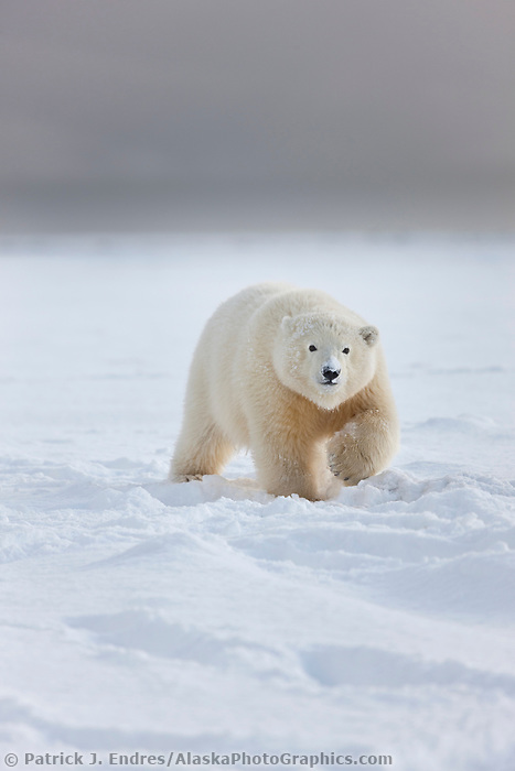 Young polar bear cub in the snow on a barrier Island, Arctic, Alaska.