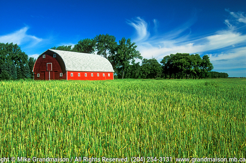 Red barn and wheat field<br />