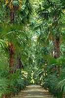 France, Gard, Générargues, LA BAMBOUSERAIE : l'allée des palmiers de Chine (Trachycarpus fortunei).