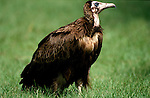 Hooded Vulture, Monachus gambia, on grass, West Africa.