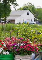 Cool season annual flowers in harvest buckets at Lisa Ziegler's Gardener's Workshop farm; Newport News Virginia