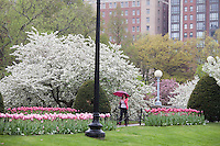 Public Garden spring, flowers misty rain, Boston, MA