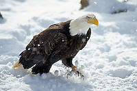 Bald Eagle (Haliaeetus leucocephalus)  walking through snow.
