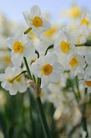 Narcissus 'Elvira'