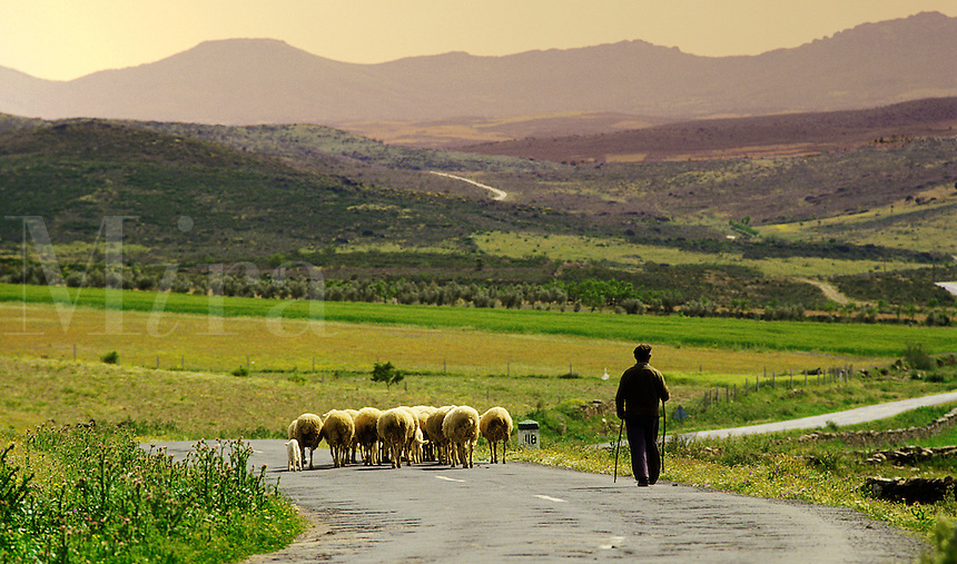 Spain. Castile la Mancha. Near Cuenca.  Shepherd driving his sheep home along a country road in the evening..