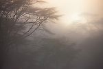 Kenya, Lake Nakuru National Park, acacia forest in morning fog